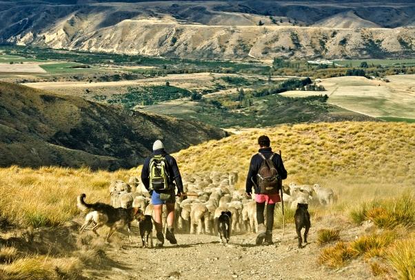 Shepherding Home the Flock - Lauder Station