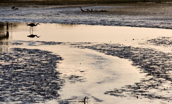 Heron on Okuru River Estuary