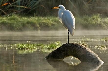 White Heron at Lake Mapourika