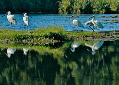 Spoonbills on Lake Mahinapua