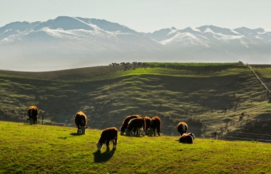Cattle to Albury Range