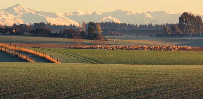 Sheep Flock to Two Thumb Range